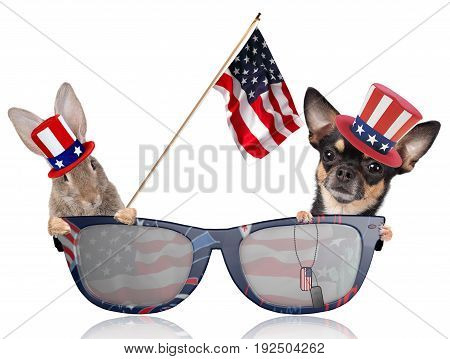 Cute dog chihuahua and cute bunny looking in sun glasses for 4th of july independence day