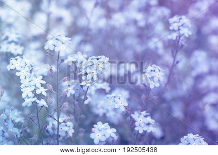 forget-me-not (Myosotis) flowers background (shallow DOF) in shades of blue and violet