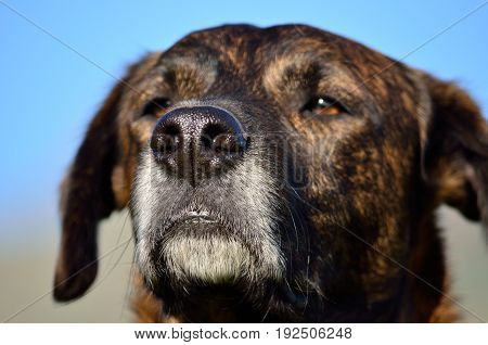 Face of canary dog in foreground with muzzle in focus