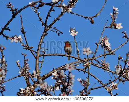 Small robin bird of Gran canaria among the branches of almond tree in bloom