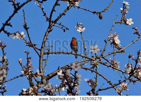 Small robin bird of Gran canaria singing on almond tree in bloom