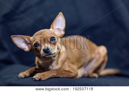 Sitting Russian Toy Terrier  on a black background