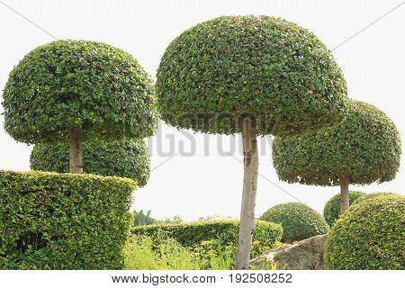 Ebony bonsai tree decoration garden in the park