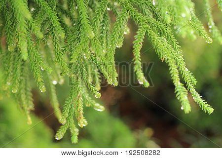 Fir Tree Branch Or Christmas Tree Branch