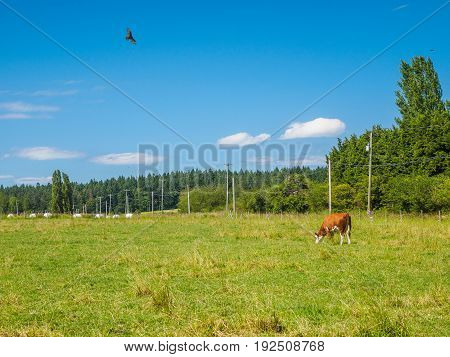 Brown cow grazing on the grass field turkey-hunter circling above
