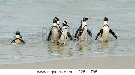 Boulders Beach in Simonstown (South Africa) with African Penguins (lat. Spheniscus Demersus)