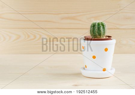 Small cactus in brown and white pots with orange dots over light color wooden table and background with space and sun light selective focus