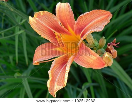 Blooming orange lilies, natural outdoor background in the Czech Republic
