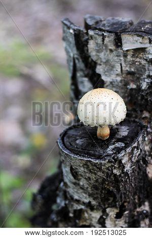 Single inedible fungus grew on a tree stump. Selective focus