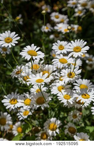 many a chamomile flowers in summer day