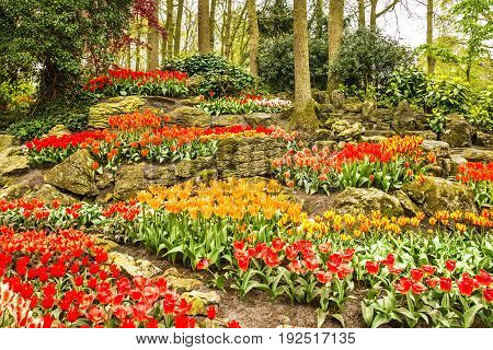 Tulips park Keukenhof - flower garden in Holland