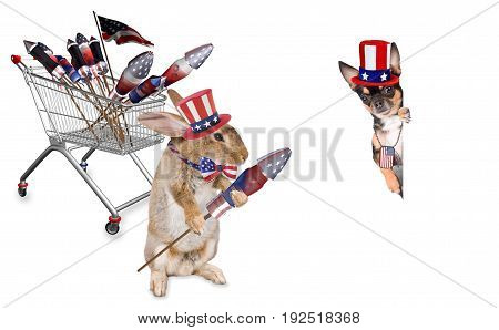 Cute dog chihuahua is scare of the fireworks for the 4th of july day