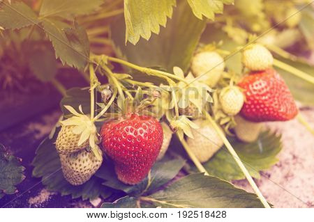 Close-up of ripe and unripe strawberry in the garden. Strawberry fruit grows in the plantation. Strawberries ripening in garden. Fresh strawberries that are rown in greenhouses