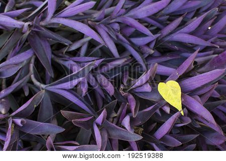 Tradescantia pallida / Tropical plant  foliage plants of Southeast Asia