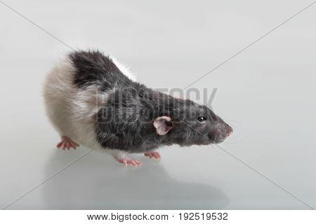 Portrait of a domestic rat close up