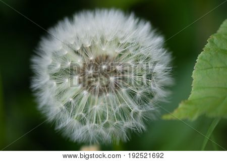 White dandelion bud with seeds close-up, green leafs