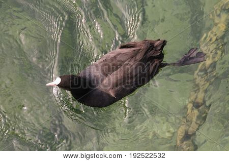 A coot swimming in crystal clear water in Lake Geneva