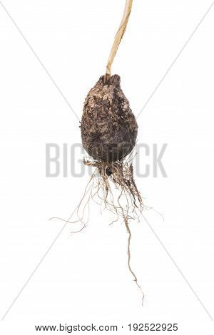 Closeup dirty unpeeled Allium praecox wild onion bulb with stem and live roots attached isolated on white background