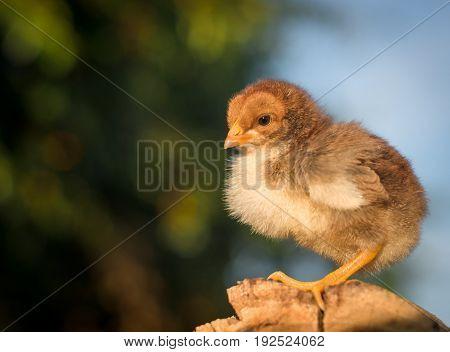 Little brown chicken on a stump. Great plan.