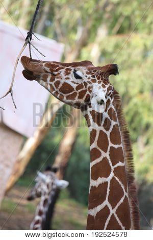 Giraffe eats leaves from a branch in safari in Ramat Gan