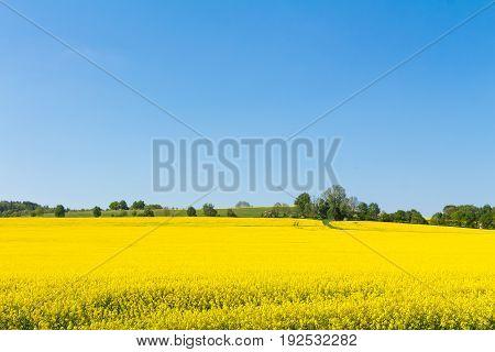 Blossom Oilseed Rape Field In Springtime