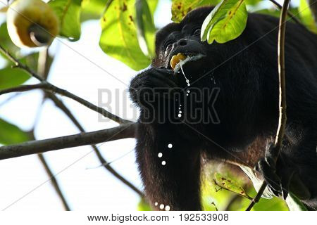 Guatemalan black howler or Yucatan black howler Monkey eats a fresh Cashew Fruit. In the Jungle of Belize