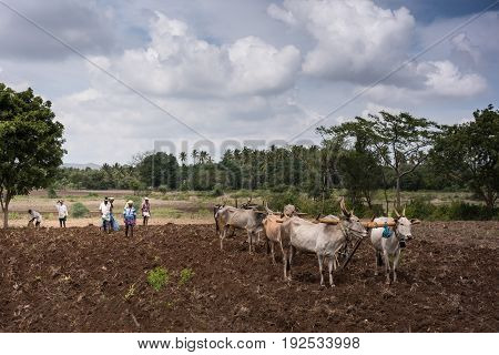South Karnataka India - October 26 2013: Three buffalo-couples plowing each with only one ploughshare. Their handlers and other workers present. Brown dirt green vegetation in back. Gray cloudscape with white clouds.