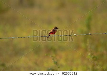 a female Vermilion flycatcher on a fence in Belize