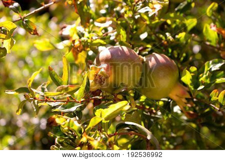 Garnet. Green garnet fruit. Tropical tree. Mediterranean plant.