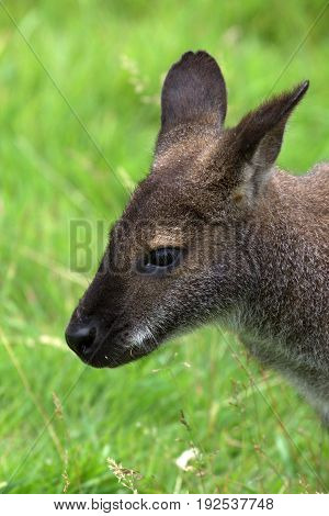 Close up Head shot of a Wallaby poster