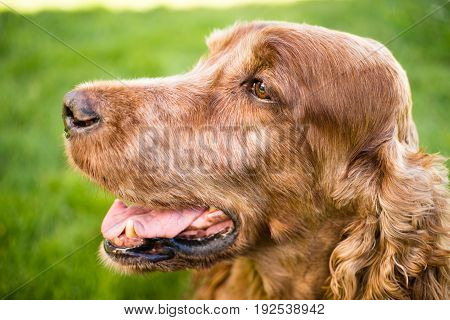 Man's best friend the purebred Irish Setter sitting in the backyard