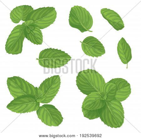 Mint leaf set. Realistic vector illustration of spearmint. Plant with fresh menthol aroma isolated on white background. Ingredient for cocktails and food garnish
