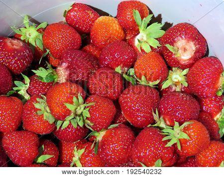 Strawberry on field in Markham Canada June 24 2017