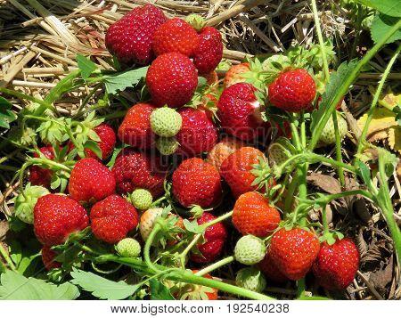 Strawberry branchs on field in Markham Canada June 24 2017