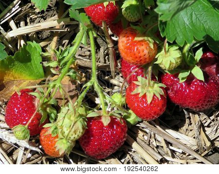 The strawberry branch on field in Markham Canada June 24 2017