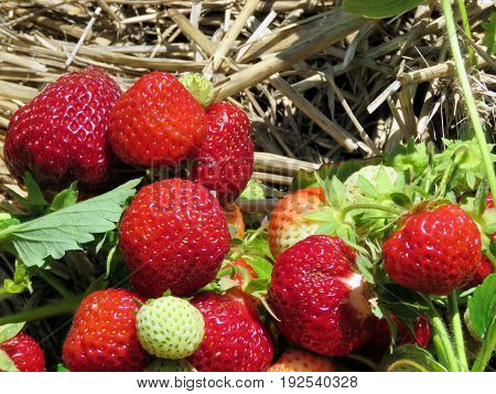 The strawberry branchs on field in Markham Canada June 24 2017