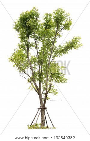 Trees Isolated On White Background, Clipping Path