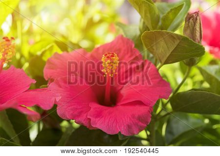 Red Hibiscus Flower with ray of light