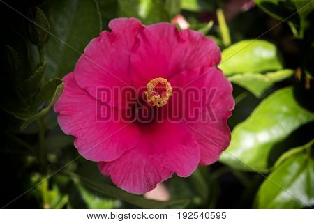 beautiful Red Hibiscus Flower on leaves background