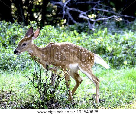 Deer White Tail Fawn Close Up Portrait