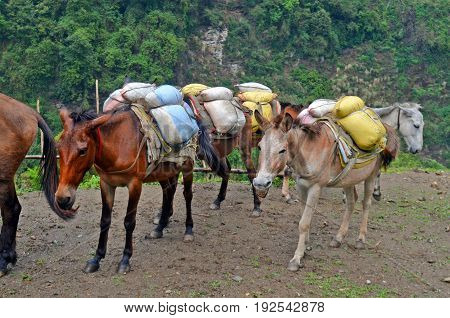 Horses with hard burden. Nepal, Annapurna Base Camp track.