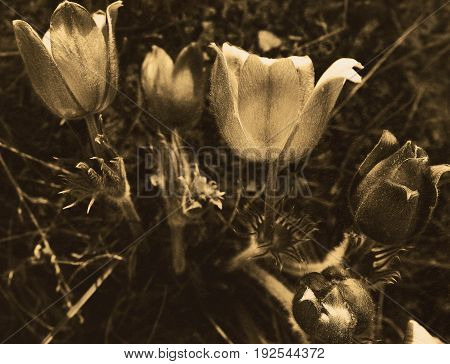 Pasque flower. Monochrome. Floral background. Pasque flower background. Natural background.