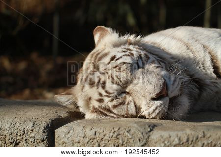 sleeping White wild Tiger on the rock in the Forest