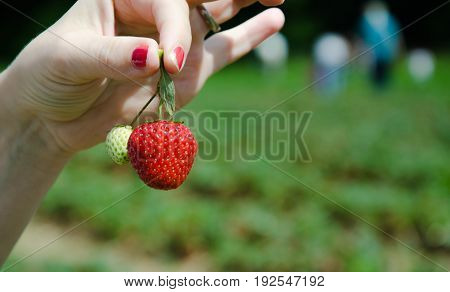 Strawberry Harvesting, Showing Strawberry