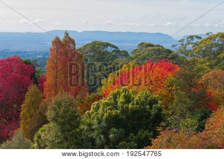 Mt Tomah Blue Mountains Australia in autumn fall leaves