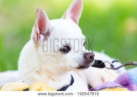 white chihuahua alerted and on guard as he sees someone approach