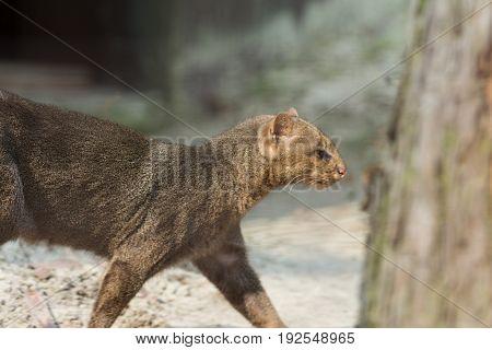 Little cats predator named the Jaguarundi (Puma yagouaroundi) from america. Wildlife animal.