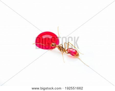 Super macro image of the worker ant (Camponotus Sp.) eating red sweet droplet isolate on white background