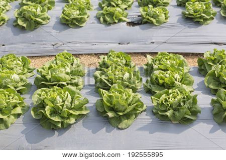 Vegetable garden ,with plastic film protected in land,The plastic film used vegetable insulation and prevent soil erosion.