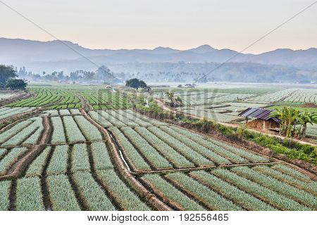 Shallots field with mountain background, North Thailand.